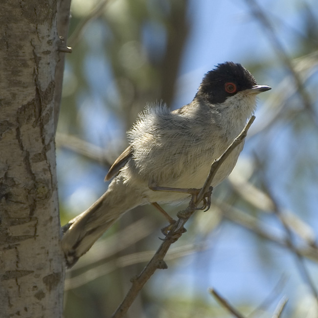 fugl sort hoved
